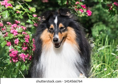 Cute sable black sable white shetland sheepdog, sheltie lies outdoors on a field of green grass blooming  pink flowers. Adorable small collie, little lassie portrait with summer hawthorn