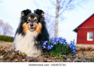 Cute sable black sable white shetland sheepdog, sheltie lies outdoors on a field of green grass blooming  snowdrops. Adorable small collie, little lassie portrait with first spring lily of the valley