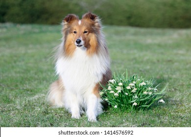 Cute sable black sable white shetland sheepdog, sheltie outdoors on a field of green grass blooming  snowdrops. Adorable small collie, little lassie portrait with first spring lily of the valley