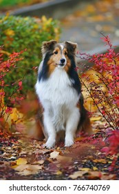 Cute sable Sheltie dog posing outdoors with red bushes and fallen maple leaves in autumn