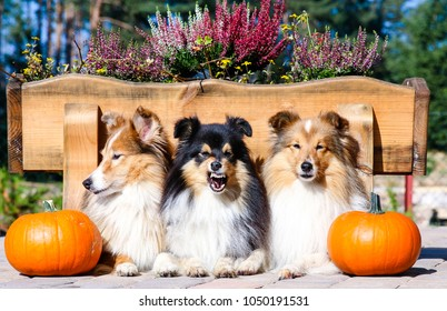 Cute sable white and black tricolor shetland sheepdog with funny face, sheltie lies on autumn day near orange pumpkins and wooden flower bed with with blooming pink and violet heather. Happy Halloween