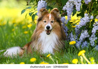 Cute sable white shetland sheepdog, sheltie lies outdoors on a green grass with meadows and lilac flowers. Adorable small collie, little lassie portrait in summer time with dandelions