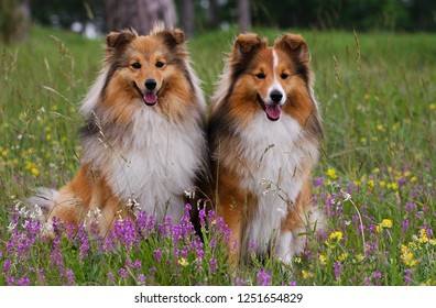 Cute sable white shetland sheepdog, sheltie outdoors portrait with background of green grass with meadows flowers. Adorable small collie, little lassie sitting outside in summer time