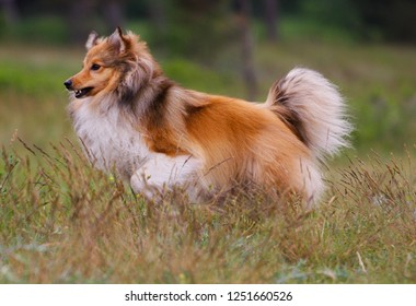 Cute  sable white shetland sheepdog, sheltie running full speed outdoors  with background of green grass with  flowers.Adorable small collie, little lassie running off the leash outside in summer time