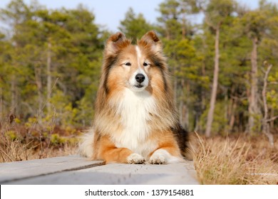 Cute sable white shetland sheepdog, sheltie lies outdoors on sunny spring day in the swamp bog forest with grass background. Amazing little collie, lassie pet dogs smiling outside
