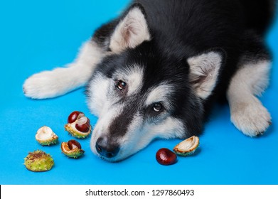 cute sad alaskan malamute dog lies on a blue background among chestnuts and looks at the camera. Top view