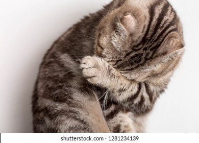 Cute sad cat Scottish Fold makes facepalm movement. Close-up.