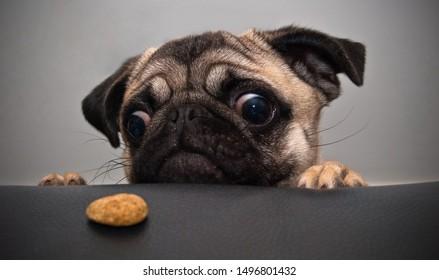 Cute sad pug looks at a cookie