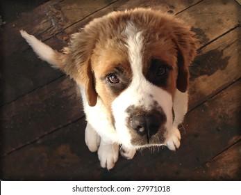 A cute Saint Bernard puppy looking up