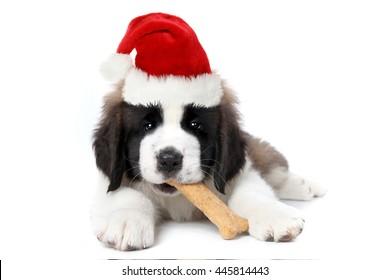 Cute Saint Bernard Puppy Wearing Santa Hat Chewing Bone