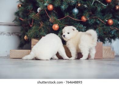 Cute samoed puppies near a Christmas tree. New Year.