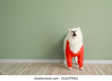 Cute Samoyed dog in sweater against color wall