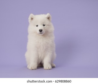 Cute samoyed puppy sitting on a purple background in a horizontal image