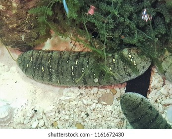Royalty Free Sandfish Images Stock Photos Vectors Shutterstock