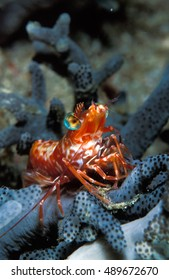 A cute saron shrimp striking a pose of a peace of purple coral