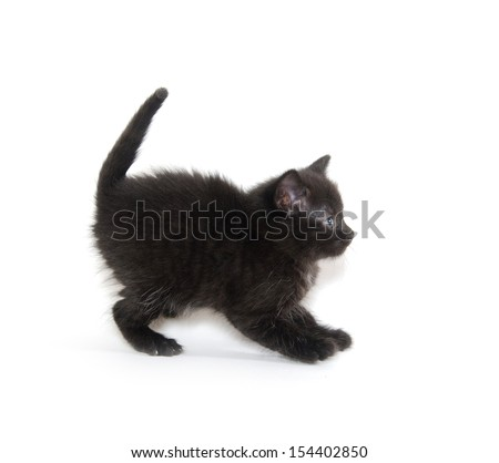 American Shorthair Cat Black