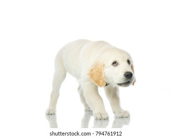 cute scared puppy  isolated on white studio shot looking up retriever frightened