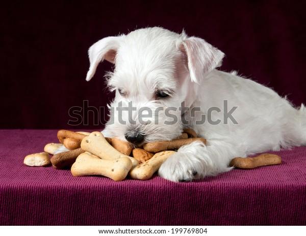 cute schnauzer puppy with dog biscuits bones