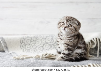 Cute scottish fold kitten sitting in soft blanket on wooden boards background