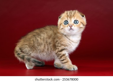 Cute Scottish kitten on a red background