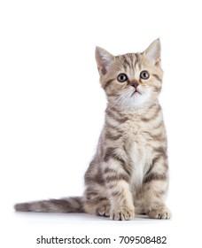 Cute scottish shorthair kitten cat isolated on white.
