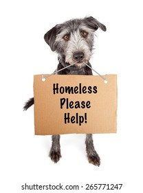 A cute scruffy terrier crossbreed shelter dog carrying a cardboard sign with the words Homeless Please Help.