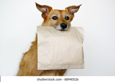 Cute scruffy terrier dog holding a brown paper bag in her mouth