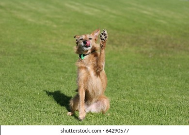 Cute scruffy terrier dog sitting in a field doing a high five paw in the air