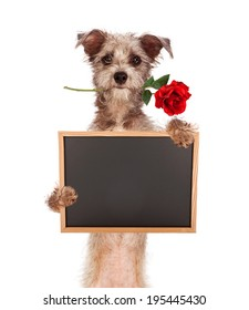 A cute scruffy terrier mixed breed dog standing up, carrying a red rose in his mouth and holding a blank chalkboard sign. Enter your own message using chalk font.