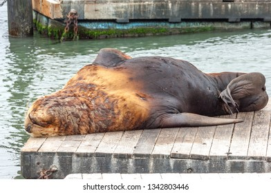 Cute sea lion resting on Pier 39, popular tourist location in San Francisco, California, USA