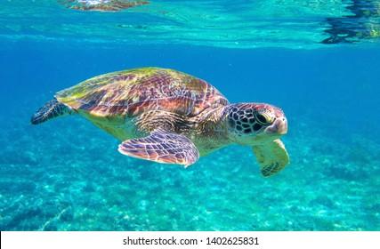 Cute sea turtle in blue water of tropical sea. Green turtle underwater photo. Wild marine animal in natural environment. Endangered species of coral reef. Tropical seashore wildlife. Snorkeling hobby