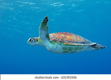 Cute sea turtle swimming in the blue ocean close to the surface. Calm blue sea with underwater wild animal. Turtle moving in the water. Scuba diving snorkeling with sea turtle.