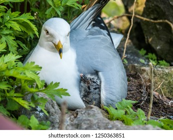 Cute seagulls with hatched chicks in the nest