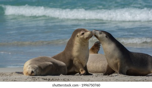 Cute seal couple in love and kissing on a beach in kangaroo island