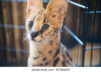 Cute serval cat looking
