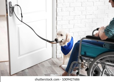 Cute service dog opening door for woman in wheelchair indoors