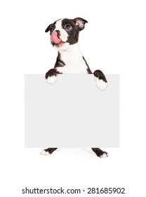 A cute seven week old Boston Terrier puppy looking up and licking his lips while holding a blank with sign