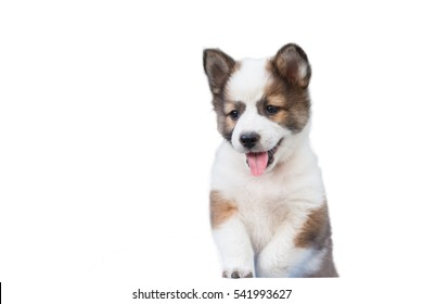 Cute Seven week old puppy dog,Thai Bangkaew puppy dog isolate on white background