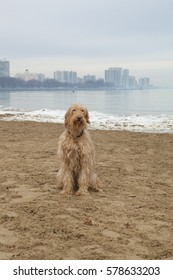 A cute, shaggy Goldendoodle sits on the sand in front of the icy winter Lake Michigan shore at Chicago's Montrose Dog Beach with a skyline of buildings in the background
