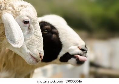 Cute sheep in the farm