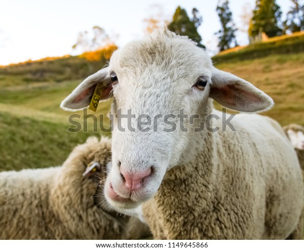 Cute Sheep Lamb Green Meadow Stock Photo (Edit Now) 1149645866