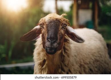cute sheep on a farm outdoor selective focus, black sheep