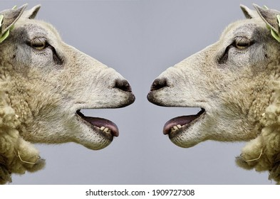 Cute sheep. Portrait of sheep looking each other