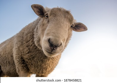Cute sheep. Portrait of sheep see in camera
