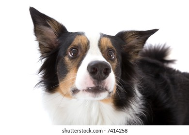 Cute sheepdog looking slightly puzzled upwards