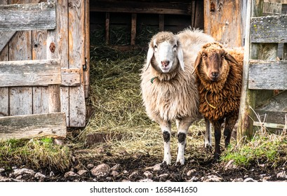 cute sheeps at a stable