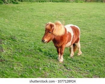 cute shetland pony standing in a field of green grass