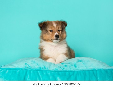 Cute shetland sheepdog puppy lying down on a blue cushion on a blue background