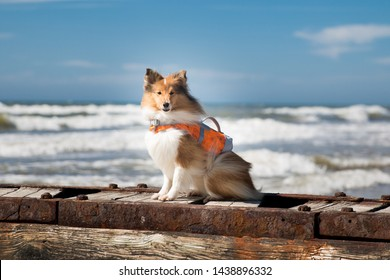 Cute shetland shepdog in lifeguard vest sitting outside on the pier on summer sunny day with sea, ocean background. Black sable white little sheltie, collie, lassie dog bay watch patrol on windy day