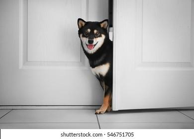 Cute Shiba Inu dog entering room